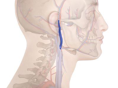 Human veins illustration, retromandibular vein