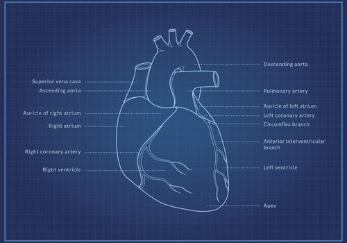 Illustration of the human heart