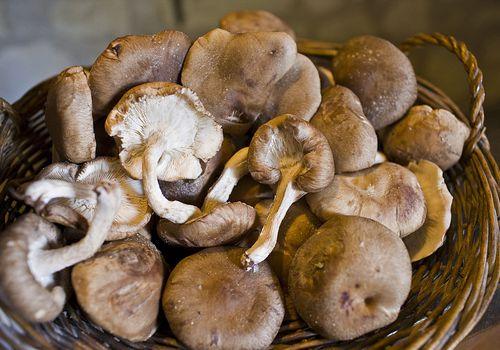 Fresh-picked Shitake Mushrooms in a basket, Loire, France
