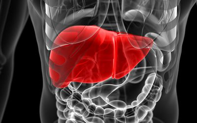 An illustration of the liver in the body