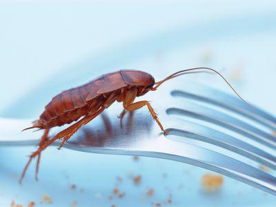 Cockroach on fork