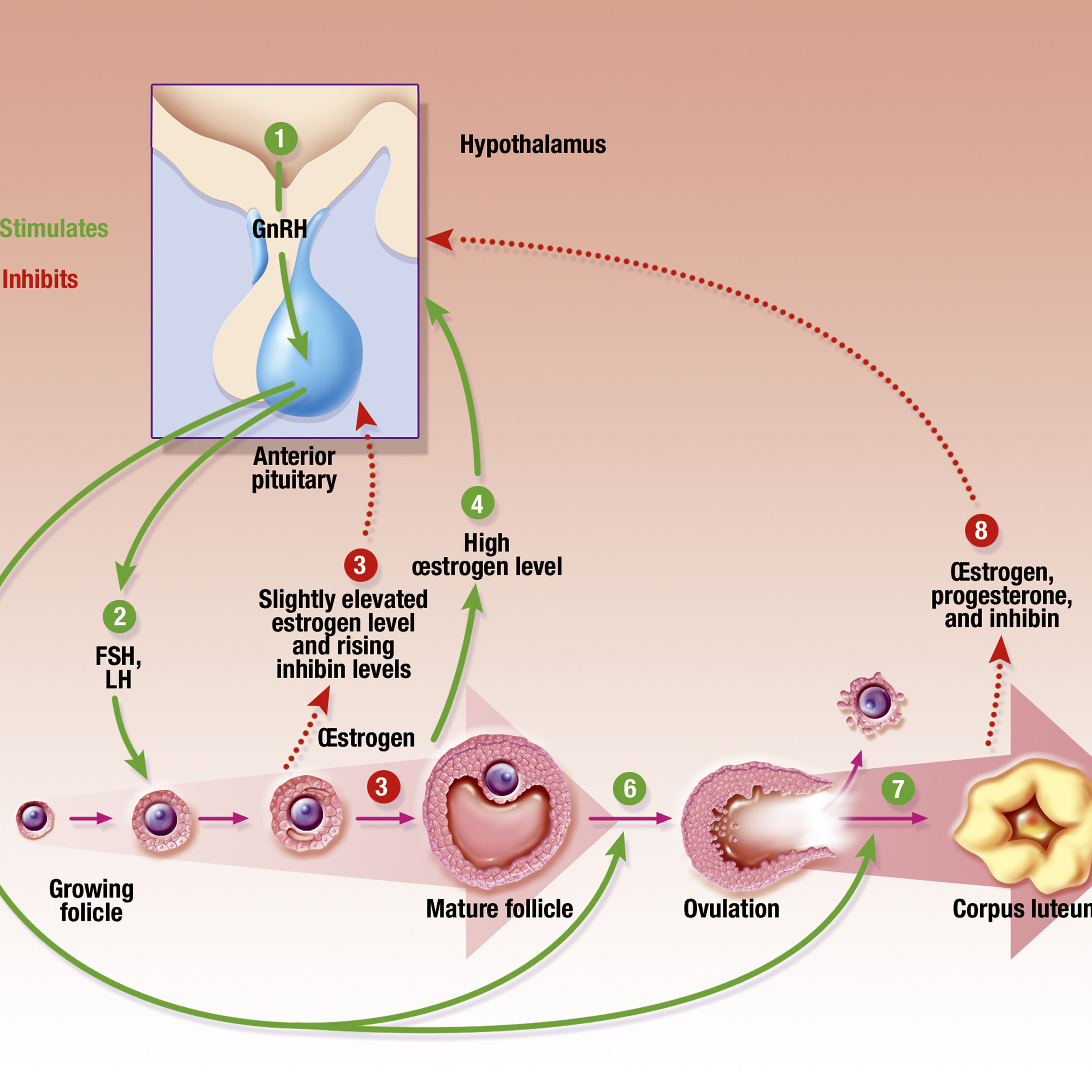 Hormones and Your Menstrual Cycle