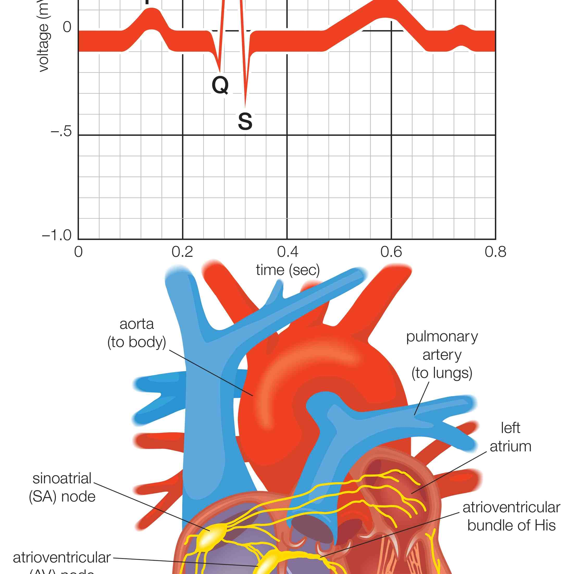 The Cardiac Electrical System And How Heart Beats This Diagram Shows Muscles In Anatomy Showing Of