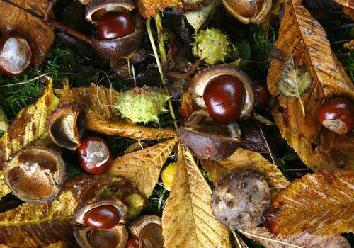 horse chestnut (aesculus)