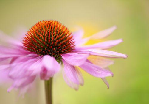 Close-up image of the flowering Echinacea Purpurea flowers
