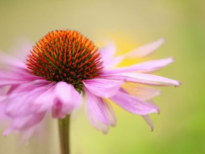 Close-up image of the beautiful summer flowering Echinacea Purpurea pink flowers also known as the purple coneflower