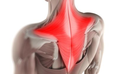 Model of the human body showing trapezius muscle