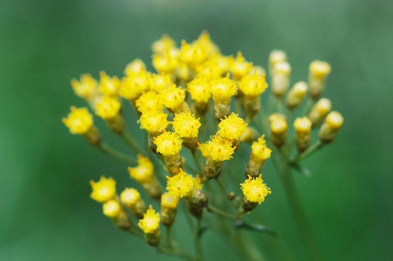 Helichrysum Essential Oil Uses and Health Benefits