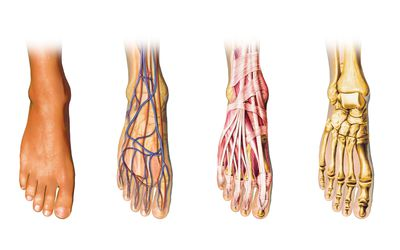 Anatomy of the Lower Leg Muscles