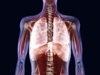 Human organs, artwork showing the trachea