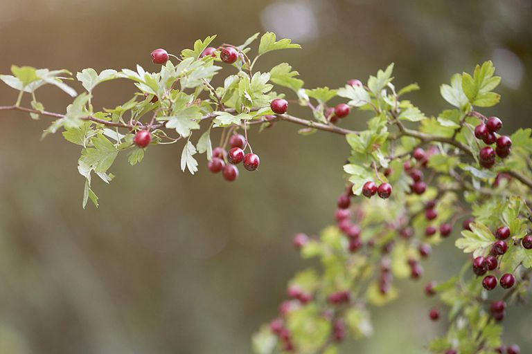 Hawthorn berries growing on a branch.