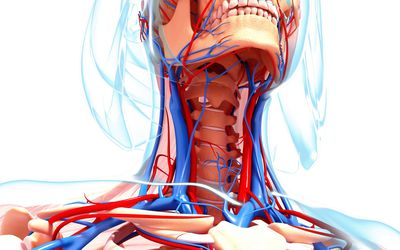veins and arteries of the neck