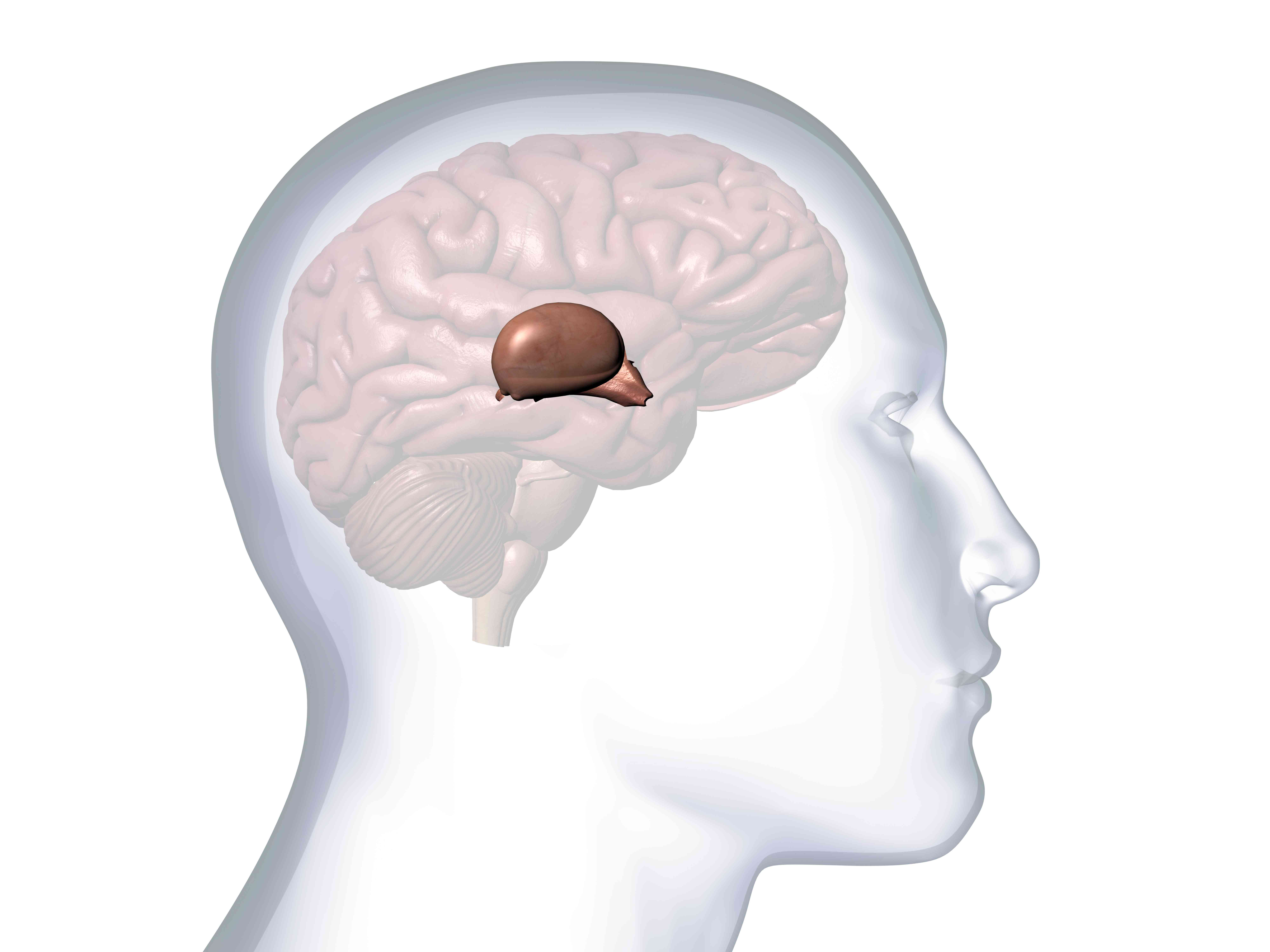 Profile of Male Head with Thalamus, Hypothalamus and Pineal Gland Anatomy