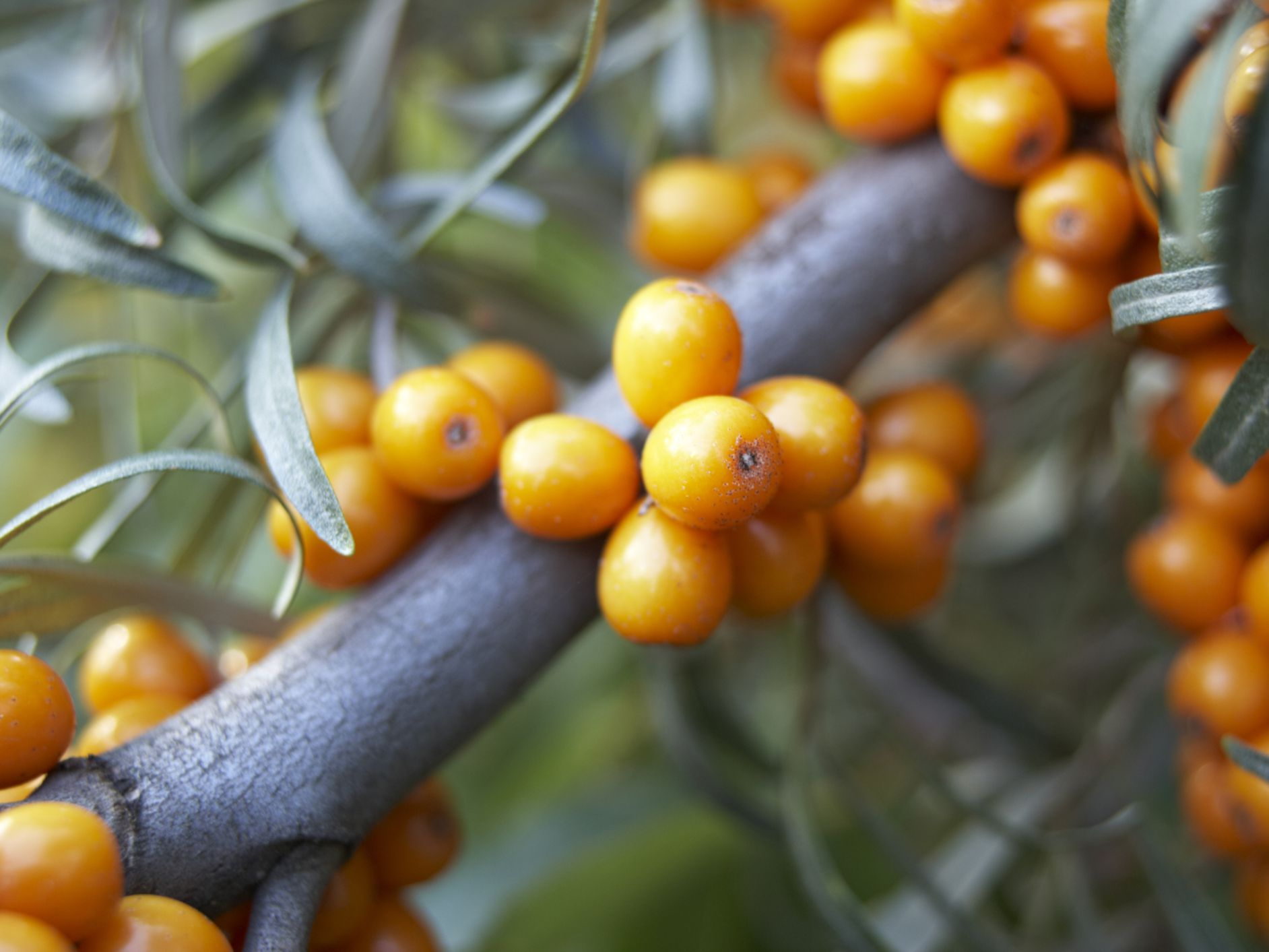 Sea Buckthorn: Benefits, Side Effects, Dosage, and Interactions