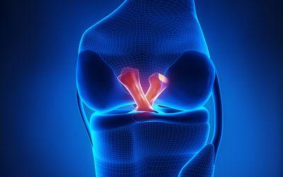 Anterior and posterior cruciate ligament illustration