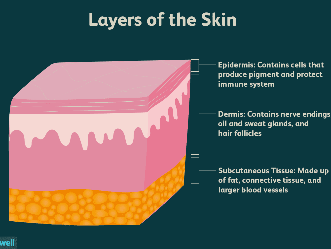 Resultado de imagen de layers of skin
