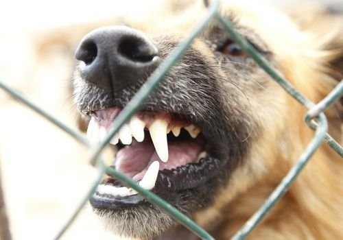 a dog baring its teeth behind a chain link fence