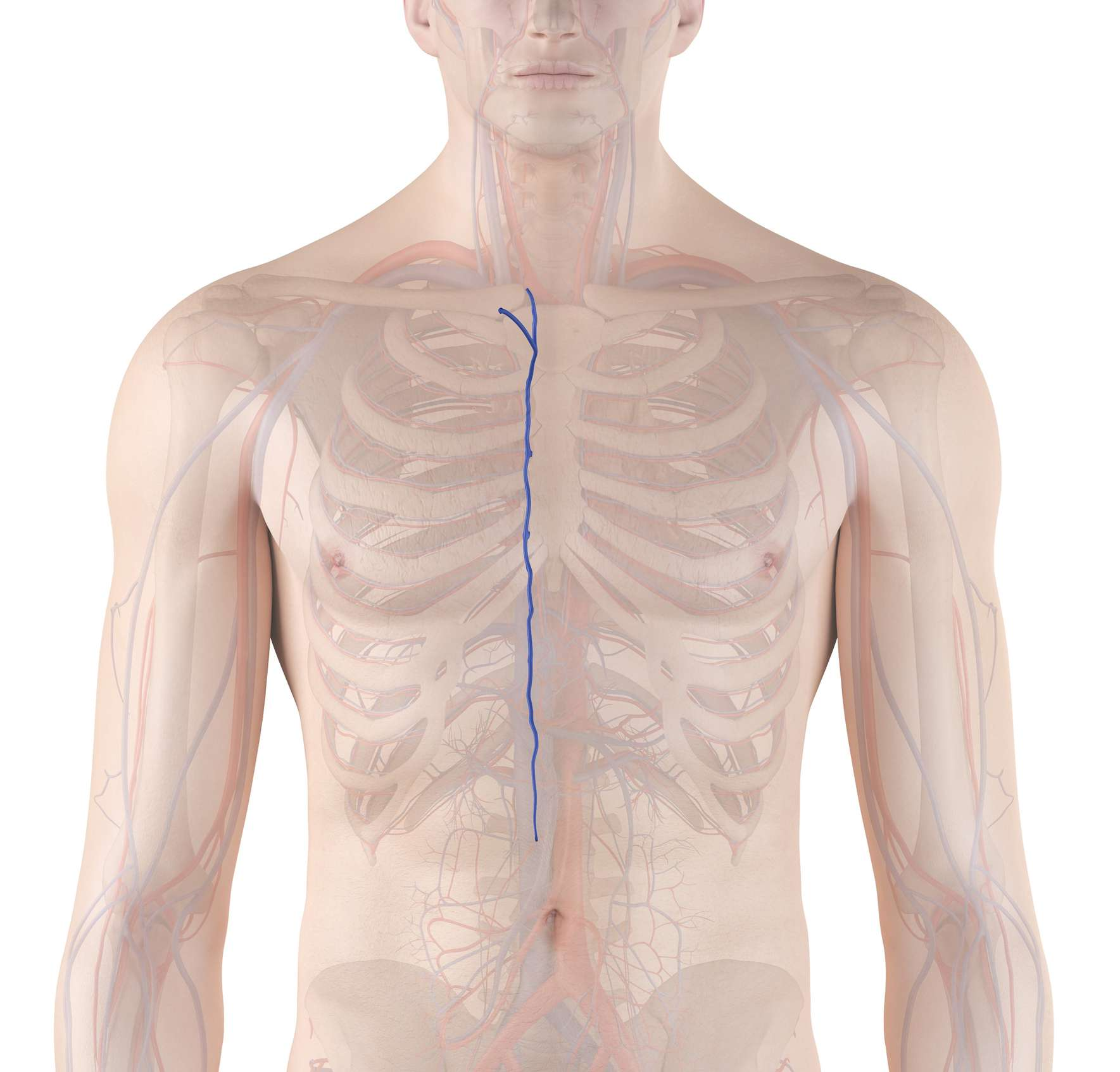 azygos vein in the human vascular system