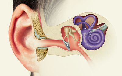 Graphic showing the outer, middle, and inner ear.