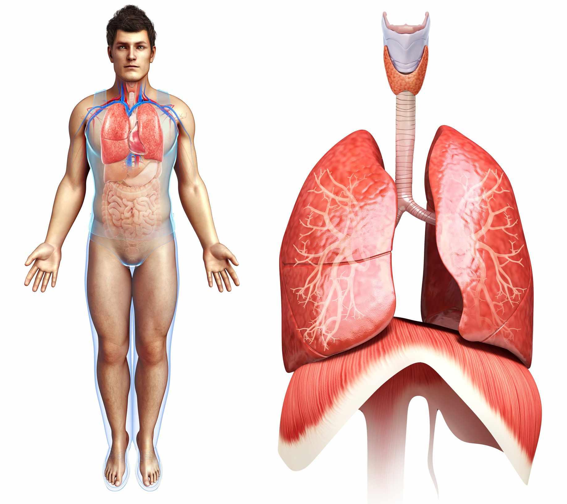 Tour The Respiratory System