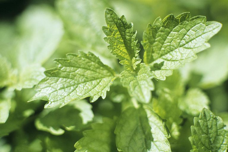 Lemon balm plant, close-up