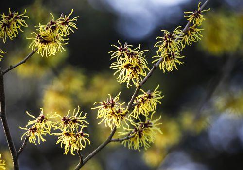 Witch hazel plant