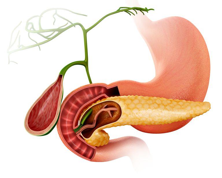 Pancreas and gall bladder, illustration