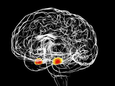 Amygdala of the brain, illustration