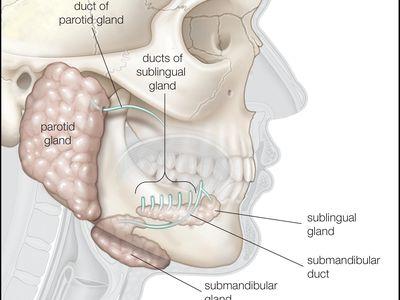 The three major pairs of salivary glands