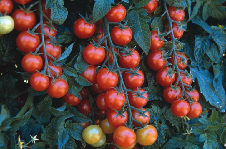 Rows of Cherry Tomatoes