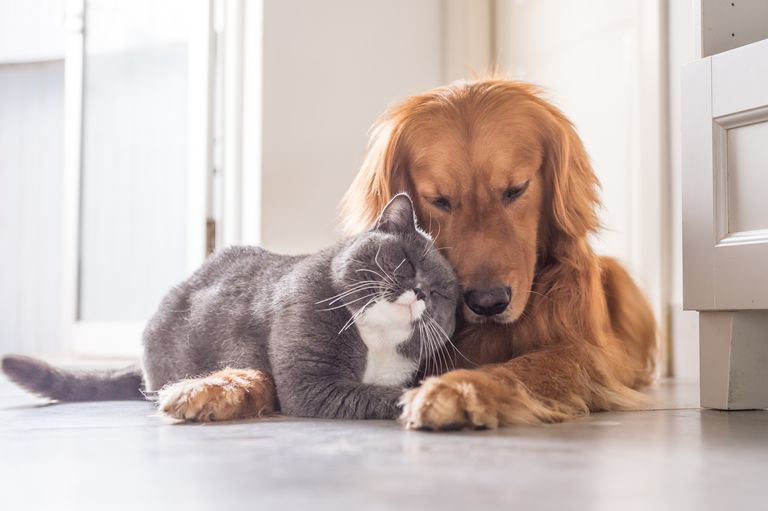 a cat and Golden Retriever cuddling