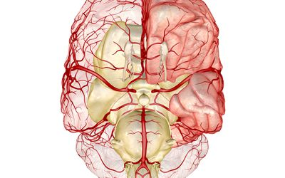 Diagram of the brain, showing the circle of Willis