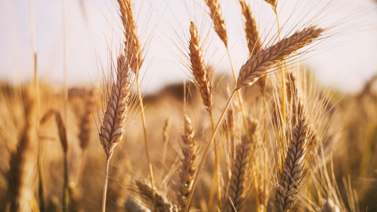 wheat field in summer sunset light