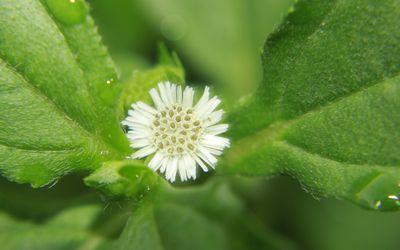Biringraj flower