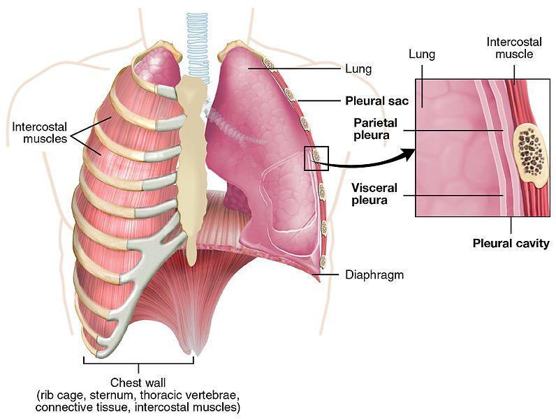 Pleura anatomy of the lungs