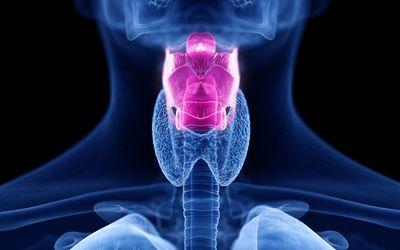 Human larynx, illustration