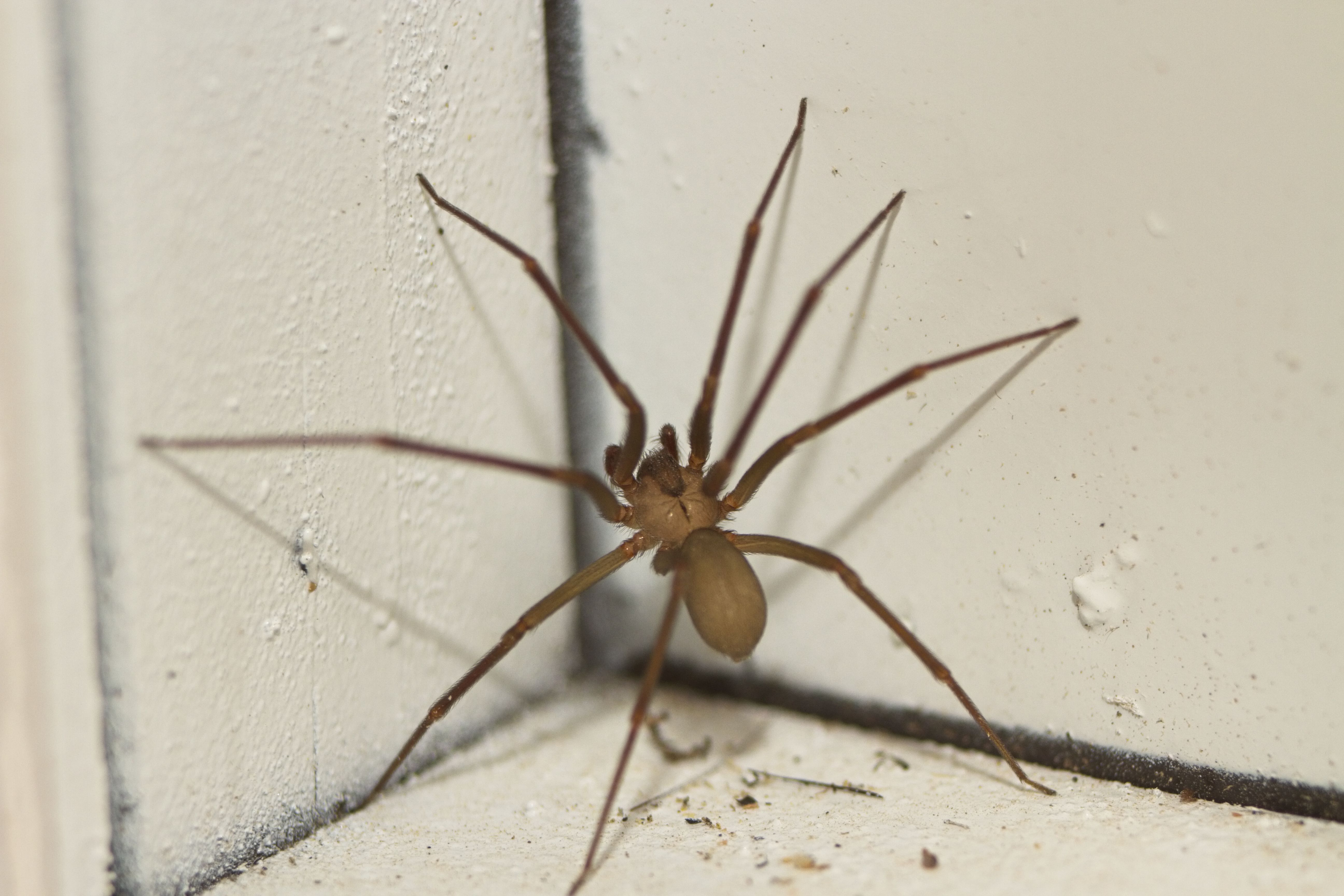 brown recluse images - HD2121×1414