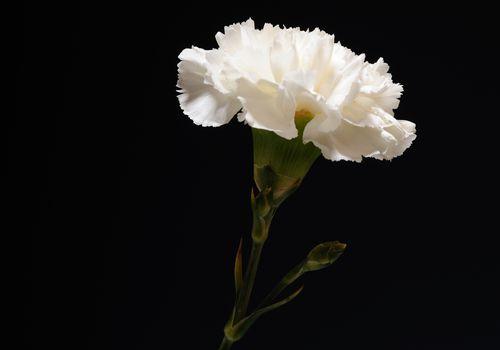 Single white carnation