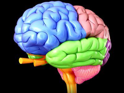 Regions of the human brain