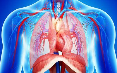 Chest anatomy, artwork - stock illustration