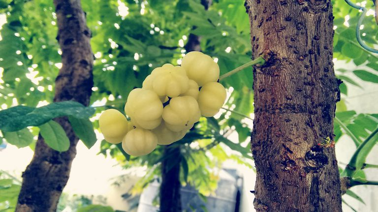 indian gooseberry fruit in tree