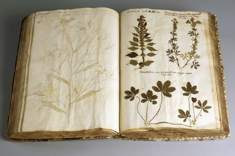 Motherwort and Jiaogulan or Twisting-Vine Orchid, illustration from pre-Linnaean herbarium, 1600