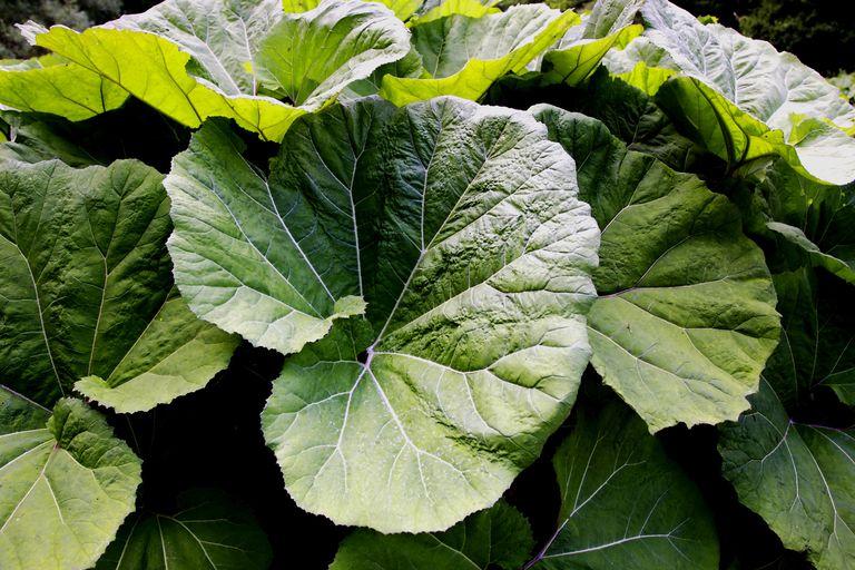 butterbur plant