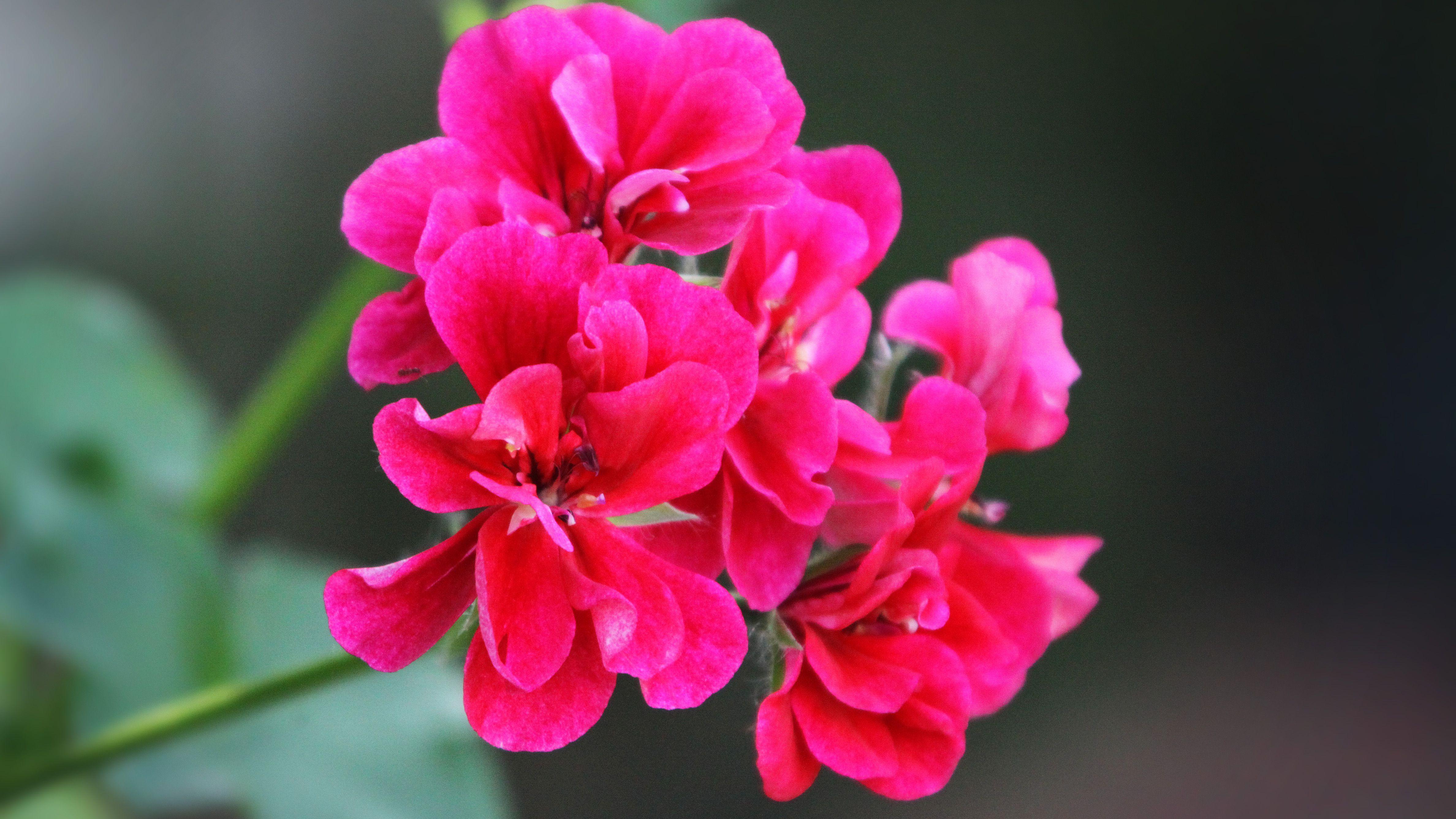 The Benefits Of Rose Geranium Essential Oil
