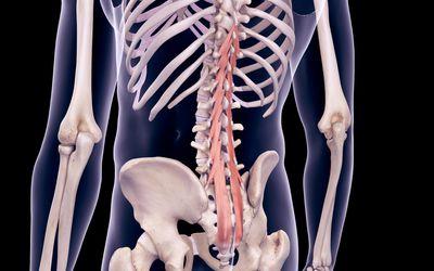 Illustration highlighting the multifidus muscles
