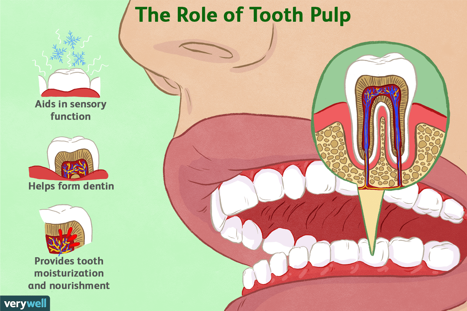 Role and function of tooth pulp