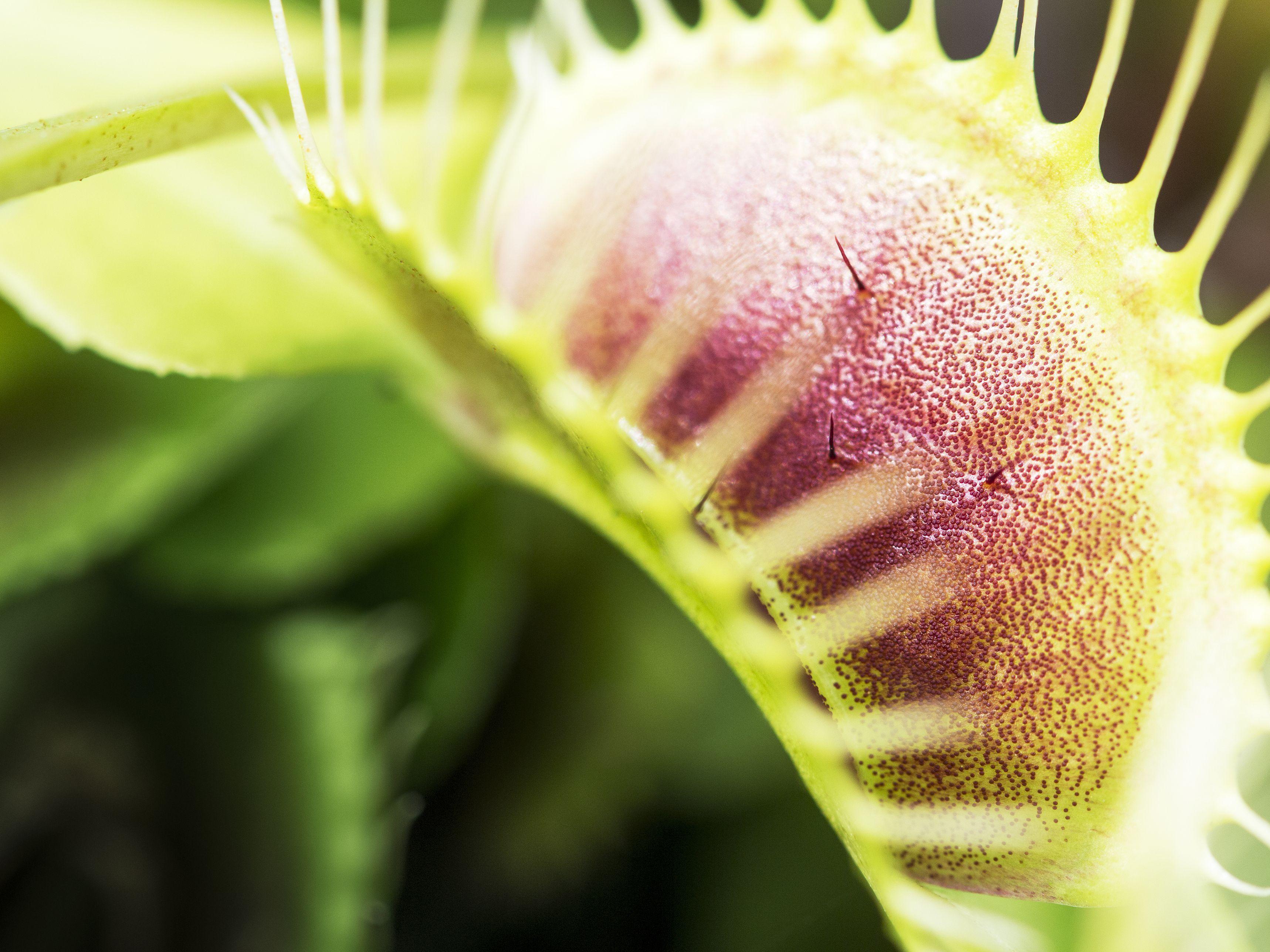 Venus Flytrap in Health and Medicine