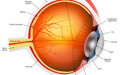 An Overview Of The Eye S Iris