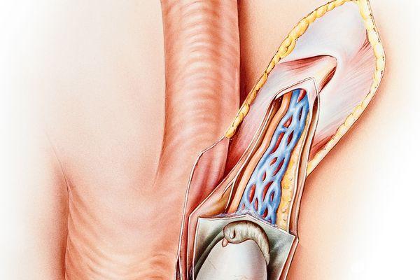 Reproductive Organs - Male (Frontal and Cutaway views)