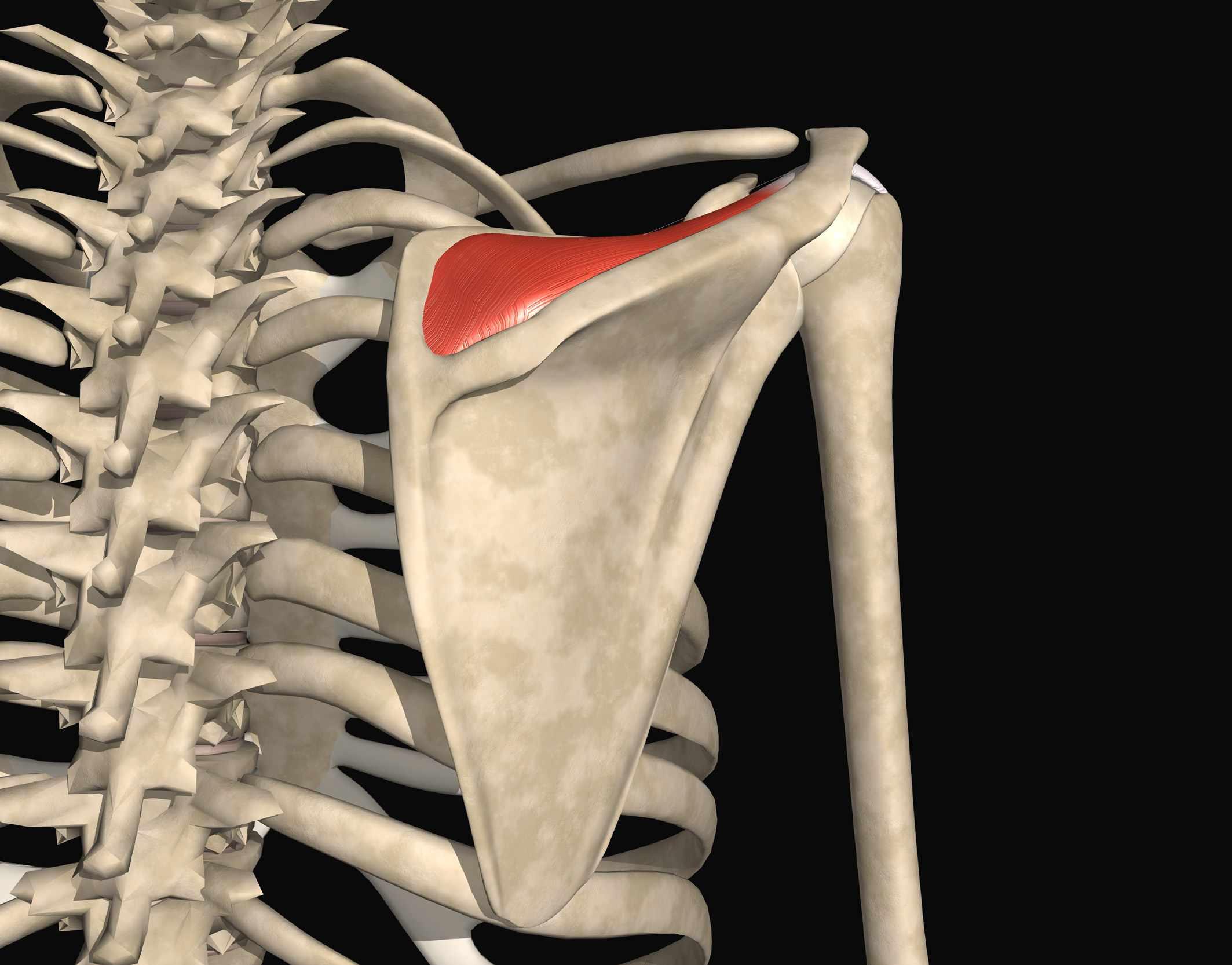 Rotator Cuff Muscles - Supraspinatus, Infraspinatus